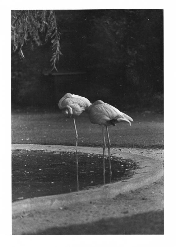 Flamingos at Merley Bird Garden